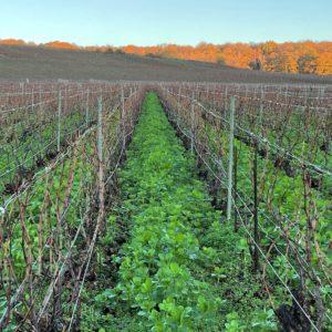 Vignes feveroles 2